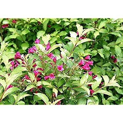 "AchmadAnam - 4"" Pot - Ghost Weigela - Outdoors or Bonsai - Ghostly Foliage - Proven Winners : Garden & Outdoor"