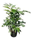 PlantVine Caryota mitis, Fishtail Palm - Large - 8-10 Inch Pot (3 Gallon), Live Indoor Plant