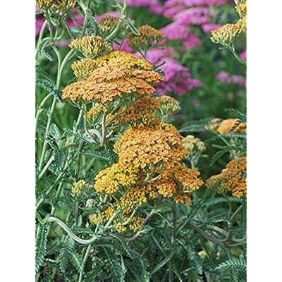 Perennial Farm Marketplace Achillea millefolium 'Terra Cotta' ((Yarrow) Perennial, Size-#1 Container, Peachy Yellow Flowers : Garden & Outdoor