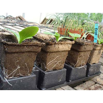 Cow Pots - Environmentally Friendly Made from Odor-Free, 100% Composted Cow Manure (192, 5'' Square x 4'' tall) by CowPots