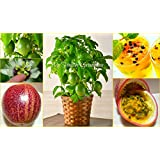 "SEEDS – Dwarf Passion Fruit ""Panama Red Pandora Hybrid"" (Passiflora edulis) SHIPS FROM CANADA!"
