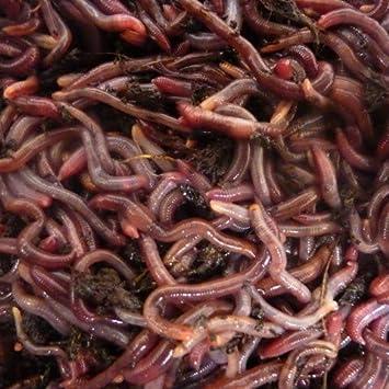 Lombriz 250 gr de Gusanos de Compost en 500 gr de Transporte: Amazon.es: Jardín