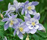 COLUMBINE BLUE DREAM Aquilegia Caerulea - 50 Seeds