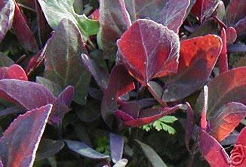 500 Organic Triple Purple Orach Seeds ~ Mountain Spinach ~ Edible and Ornamental