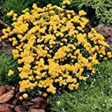 Outsidepride Ageratum Yellow - 5000 Seeds