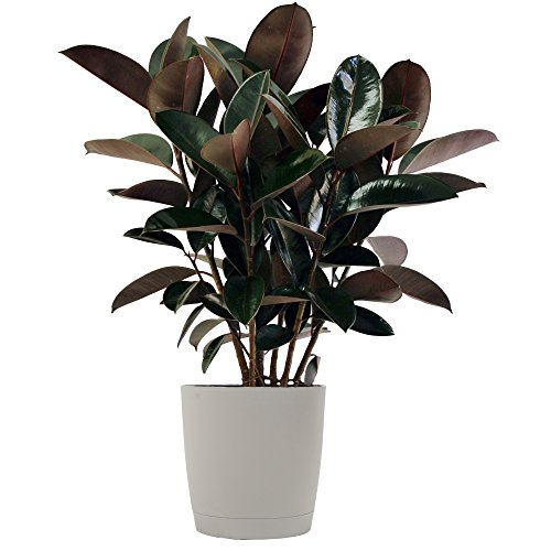 Costa Farms Indoor Burgundy Rubber Plant Only $29.99 + MORE Great Deals on Plants **Today Only**