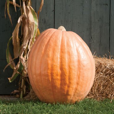David's Garden Seeds Pumpkin Dill's Atlantic Giant D602A (Orange) 15 Heirloom Seeds