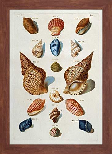 A Selection of Seashells by Franz Michael Regenfuss - 25