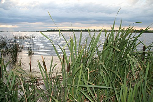 Home Comforts LAMINATED POSTER Cattails Lake Nature Poster Print 24 x 36 by Home Comforts