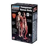 Lindberg Transparent Visible Human Body 1/6 Scale
