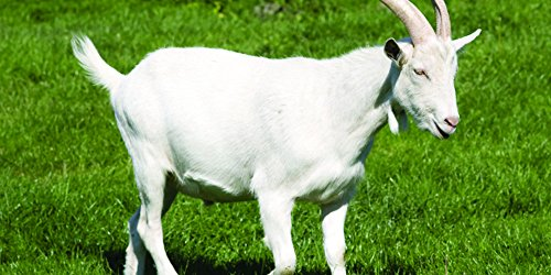 Intermountain West Goat Forage Blend (0.5 Acre)