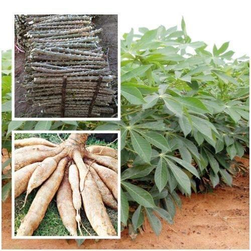 Portal Cool Tipo de yuca Dulce Tronco esquejes Fresco Manihot esculenta /árbol 2 estacas de 10
