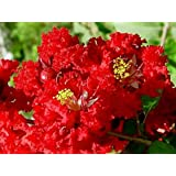 Dynamite Red Crapemyrtle Tree - Live Trees - Shipped 1 to 2 Feet Tall