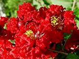 Dynamite Red Crapemyrtle Tree - Live Trees - Shipped 1 Foot Tall