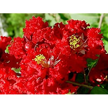 Amazon Com Tonto Crape Myrtle Semi Dwarf Mature