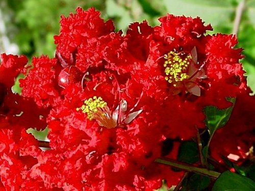 Dynamite Red Crapemyrtle Tree - Live Plants Shipped in Gallon Containers (No California)
