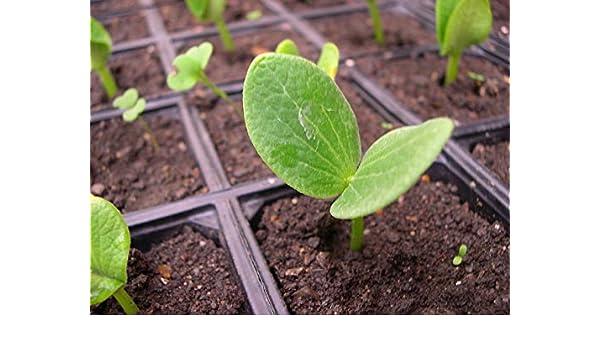 Portal Cool 5 Semillas de calabaza gigante Huerto Verduras Plantas ...