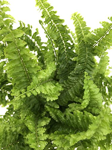 Costa Farms WaterWick Self-Watering Heart Design Planter w/ Premium Exotic Angel Live Indoor Love Fern Plant, 4.8-Inch Pot by Costa Farms (Image #2)