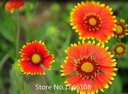 home & garden Promotion! 200 Dianthus Seeds , 16 kinds mixed packed, Sweet William flower, easy to grow ,high germination DIY ga (Grow William Sweet)