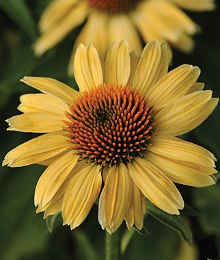 (3 Harvest Moon Coneflower/ Echinacea in 4 Inch Cups Deer Resistant)