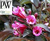 Wine & Roses® Weigela - Outdoors or Bonsai - Hardy - Proven Winners
