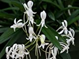 Neofinetia falcata orchid, small seedling - the Japanese Warrior orchid