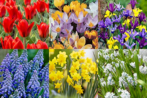 Flowers Spring Plant (Bloomsz 9828 Wild Flower Bulb Mix (100-Pack))