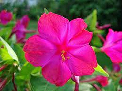 (Four O'clock Bright Red 25+ Seeds Organic, Beautiful Vivid Redish Colored Bloom)
