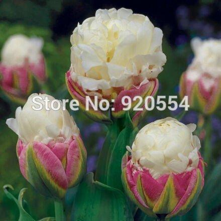 100% Genuine, 5pcs/lot Tulip 'Ice Cream' , Tulipa bulbs (not the tulip seeds) bonsai plant home garden free shipping T01