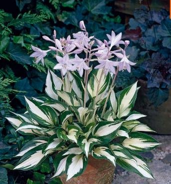 Cheap! 2017 Sementes Flower Seeds Hosta Seeds Fire And Ice Shade Perennials Plantain Flower Bonsai Home Garden Ground Cover Plant Seed