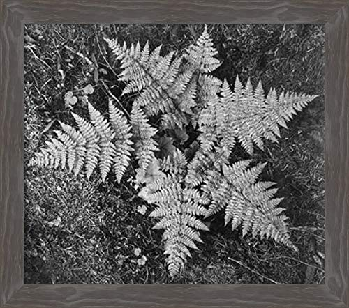 Amanti Art Ferns, Glacier, MT-National Parks and Monuments, 1941 by Ansel Adams Canvas Art Framed