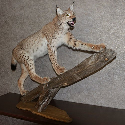 Bobcat Taxidermy Mounts - 3