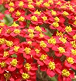 """YARROW RED (ACHILLEA MILLEFORIUM) """"RUBRA"""" A MILLION TINY FLOWERS WITH YELLOW CENTERS IN RED CLUSTERS HEAT AND DROUGHT TOLERANT APPROX 300 SEEDS"""