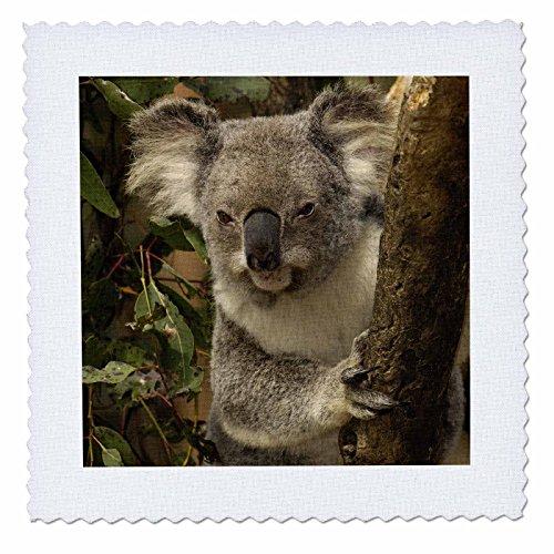 Sydney Clock Square (3dRose qs_70179_3 Koala Bear, Lone Pine Koala Sanctuary, Australia-AU01 POX0000-Pete Oxford-Quilt Square, 8 by 8-Inch)