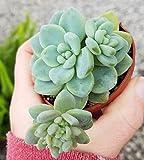 """Sedum Clavatum 2.5"""" pot succulent plants"""
