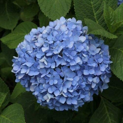 1-2 Beautiful Blue Blossoms Nikko Blue Hydrangea Flowering Shrub