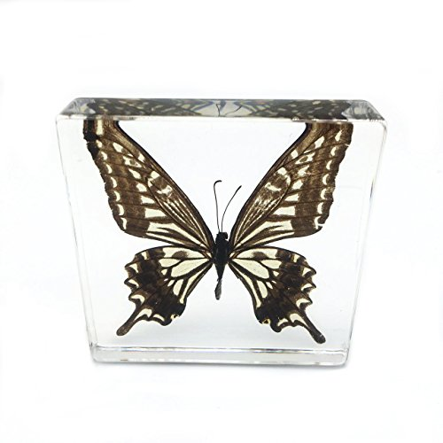"""Real Butterfly Specimen Specimens Paperweight Paperweights Collection Display(3x3x0.6"""")"""