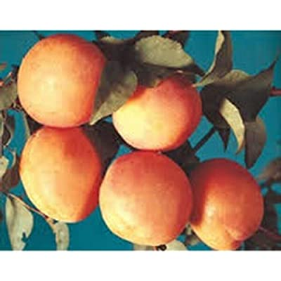 AchmadAnam - Live Plant - Apricot Early Golden Orchard Fruit Tree Dwarf 2-4 ft : Garden & Outdoor