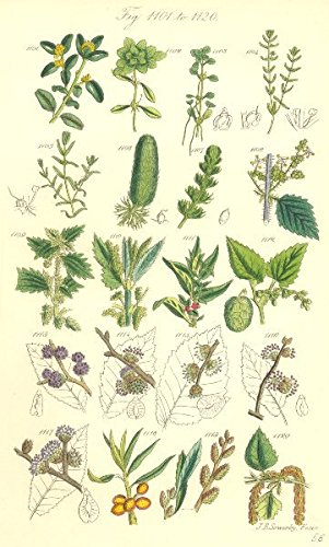 WILD FLOWERS:Box Starwort Nettle Pellitory Hop Elm Thorn Gale Birch.SOWERBY;1890
