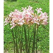 3 Bareroot Pink Spider Lily/ Surprise Lily/ Naked Lady Lily/ Resurrection Lily/ August Lily/ Raidanti Squamigera by Daylily Nursery