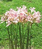 3 Bareroot Pink Spider Lily/ Surprise Lily/ Naked Lady Lily/ Resurrection Lily/ August Lily/ Raidanti Squamigera
