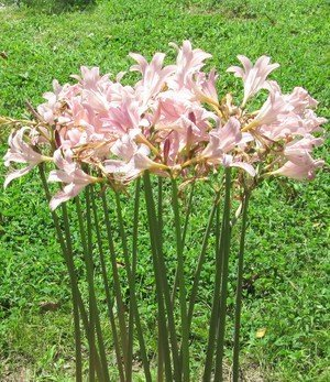 (3 Bareroot Pink Spider Lily/ Surprise Lily/ Naked Lady Lily/ Resurrection Lily/ August Lily/ Raidanti)