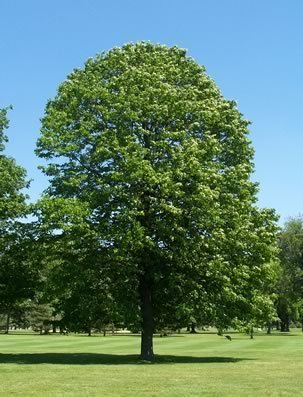 25 American Linden Tree Seeds, Tilia Americana by Seeds and Things