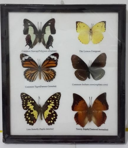 thitiwat RARE 6 REAL BUTTERFLY DECOR INSECTS TAXIDERMY COLLECTION GIFT FRAME