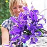 Van Zyverden Dutch Iris - Sapphire Beauty - Set of 25 Bulbs