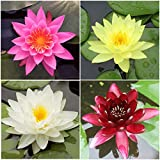 Water Lily Bundle - 4 Pre-Grown Hardy Lilies in White, Red, Yellow, Pink Plus Water Hyacinth or Water Lettuce from AquaLeaf Aquatics
