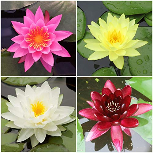 Water Lily Bundle - 4 Pre-Grown Hardy Lilies in White, Red, Yellow, Pink Plus Water Hyacinth or Water Lettuce from AquaLeaf Aquatics by AquaLeaf Aquatics (Image #8)