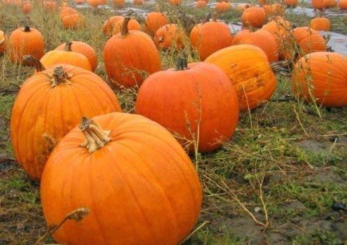 Connecticut Field Pumpkin Seed - Culinary Decorating Pumpkins Seeds (5gr to 4oz)