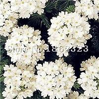 Semillas de flor de verbena frescas genéricas 100 piezas para plantar blanco