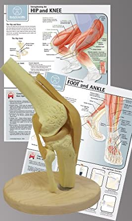 Anatomy model of the knee joint with physical therapy charts amazon anatomy model of the knee joint with physical therapy charts ccuart Images